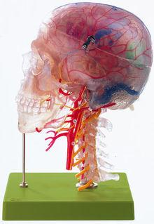 QS 65/7 Neuroanatomie-Kopfmodell