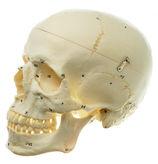 QS 7/1 Künstlicher Homo-Schädel