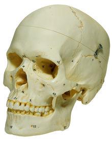 QS 7/6-1 Künstlicher Homo-Schädel, weiblich