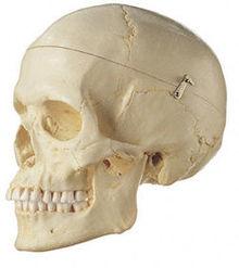 QS 7/6 Künstlicher Homo-Schädel, weiblich