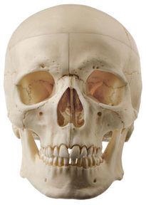 QS 7/8-E Künstlicher Homo-Schädel