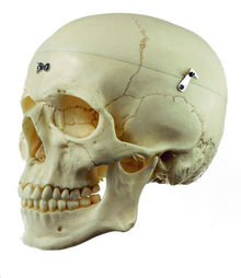 QS 7/9-E Künstlicher Homo-Schädel