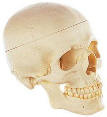 QS 7/E Künstlicher Homo-Schädel