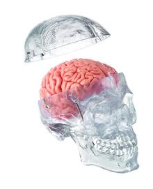 QS 7/T/20 Künst. Homo-Schädel, transparent + 8-teiligem Gehirn