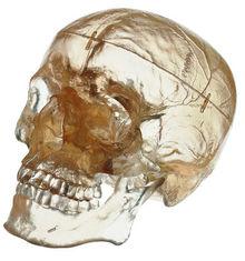 QS 7/T Künstlicher Homo-Schädel, transparent