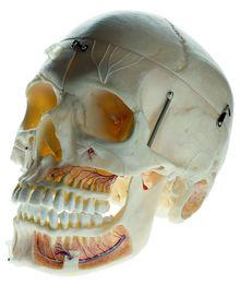 QS 8/11 Künstlicher Demonstrationsschädel eines Erwachsenen