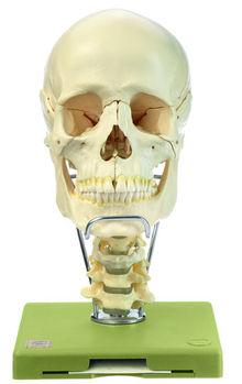 QS 8/218C 18teiliges Schädelmodell HWS + Zungenbein
