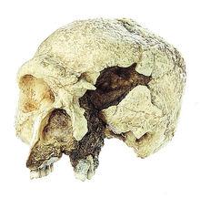 S 11 Schädelrekonstruktion von Homo heidelbergensis