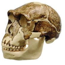 S 2/3733 Schädelrekonstruktion von Homo ergaster (KNM-ER 3733)