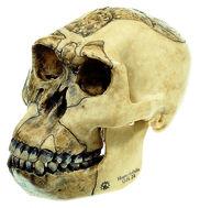 S 3/1 Schädelrekonstruktion von Homo habilis (O.H. 24)