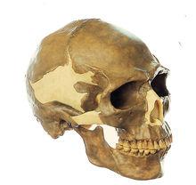 S 4 Schädelrekonstruktion von Homo sapiens
