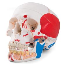 Schädel, geöffneter Unterkiefer, bemalt, 3-teilig