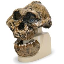 Schädelreplikat Australopithecus boisei