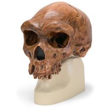 Schädelreplikat Homo rhodesiensis