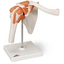 Schultergelenk Funktionsmodell