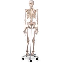 Skelette + Knochenpräparate