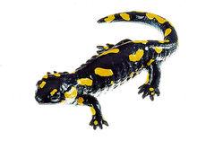 ZoS 1002 Gefleckter Feuersalamander, Weibchen