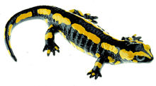 ZoS 1003/1 Gebänderter Feuersalamander, Weibchen