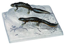ZoS 1006 Kammmolch, Männchen und Weibchen in Wassertracht