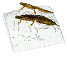 ZoS 1007 Teichmolch,  Männchen und Weibchen  in Wassertracht