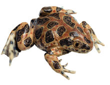 ZoS 1011 Knoblauchkröte