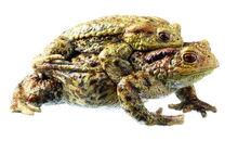 ZoS 1013/2 Erdkröte - Paar im Amplexus