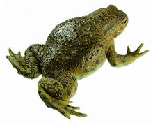 ZoS 1013 Erdkröte, Weibchen