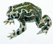ZoS 1015 Wechselkröte, Männchen