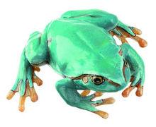 ZoS 1016/4 Laubfrosch, seltene hellblaue Varietät, Weibchen