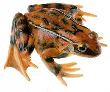 ZoS 1018 Grasfrosch, Weibchen