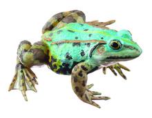 ZoS 1021/5 Kleiner Teichfrosch, Weibchen, bläuliche Variante
