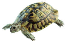 ZoS 1025/1 Griechische Landschildkröte, Männchen