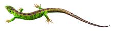 ZoS 1030/4 Zauneidechse, Männchen, während der Paarungszeit