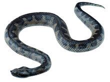 ZoS 1037 Sandotter, Weibchen