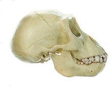 ZoS 50/1 Gorilla-Schädel, jugendlich