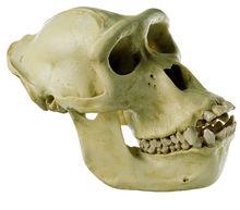 ZoS 51 Gorilla-Schädel