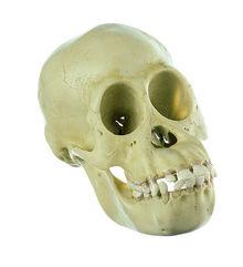 ZoS 53/1 Schimpansen-Schädel, jugendlich