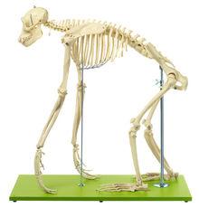 ZoS 53/110 Künstliches Schimpansenskelett, männlich