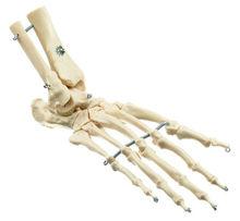 ZoS 53/122 Künstliches Schimpansen-Fuss-Skelett