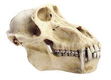 ZoS 53/3 Pavian-Schädel