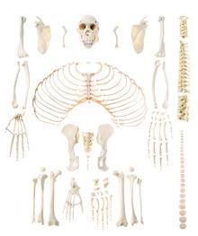 ZoS 53/401 Künstliches Schimpansenskelett
