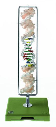ZoS 57/20 DNA-Doppelhelix (Typ B-DNA)